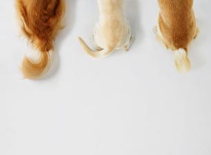 犬の尻尾の写真素材 [FYI02845816]