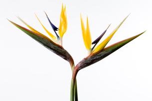 花(ストレイチア)の写真素材 [FYI02846361]