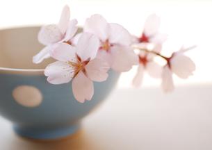 水色のドット柄のボールに飾った桜の花の写真素材 [FYI02846836]