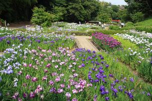 亀山公園の菖蒲園の写真素材 [FYI02847178]