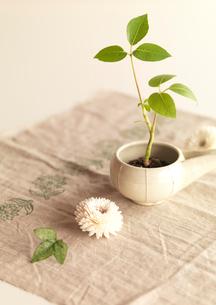 白い器に植えたグリーンの観葉植物の写真素材 [FYI02847612]
