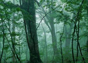 霧のブナ林の写真素材 [FYI02848272]