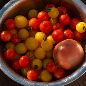 収穫したトマトの写真素材 [FYI02848788]