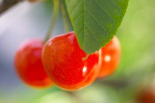 枝に実るさくらんぼの写真素材 [FYI02849306]