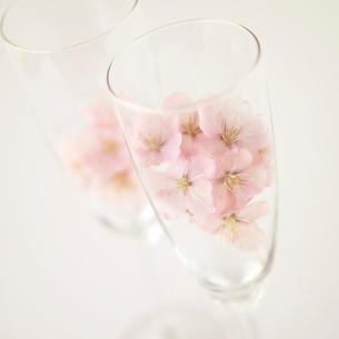 シャンパングラスの中の桜の写真素材 [FYI02849636]