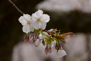 桜 太白の写真素材 [FYI02850623]