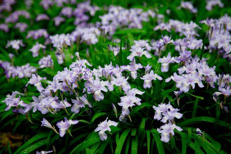 ヒメシャガの花咲く岳人の森の写真素材 [FYI02850736]