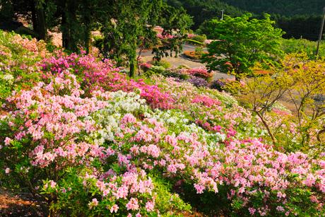 竹の古場公園のツツジの写真素材 [FYI02850802]