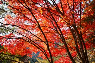 旧行者還林道 川迫川渓谷の紅葉 の写真素材 [FYI02850815]