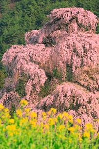 北小倉のシダレザクラの写真素材 [FYI02850874]