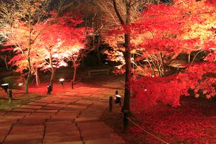 モミジの紅葉ライトアップの写真素材 [FYI02850898]