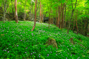 岳人の森 ヒメシャガの群生の写真素材 [FYI02850934]