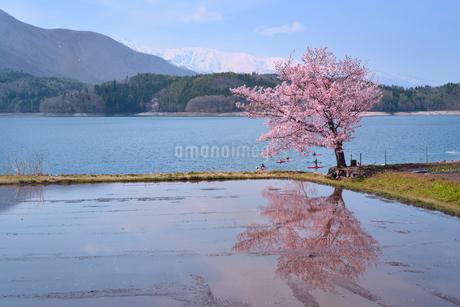 サクラと水田に青木湖の写真素材 [FYI02851057]