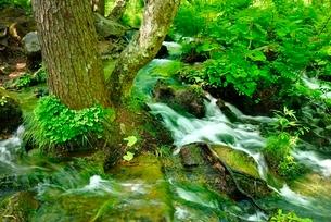 新緑の裏磐梯 五色沼の渓流とマイズルソウの花の写真素材 [FYI02851220]