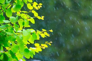 カツラの新緑アップとぼけた森の写真素材 [FYI02851259]