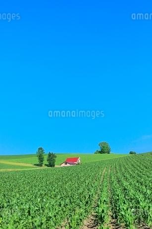 美瑛 赤い屋根の家とトウモロコシ畑の写真素材 [FYI02851331]