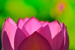 ハスの花(古代ハス)の写真素材 [FYI02851389]
