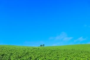 美瑛 親子の木の写真素材 [FYI02852278]