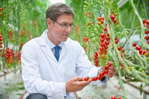 Food scientist examining ripe red vine tomato plantsの写真素材 [FYI02852355]
