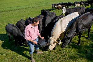 Farmer feeding cattle in sunny rural fieldの写真素材 [FYI02852483]