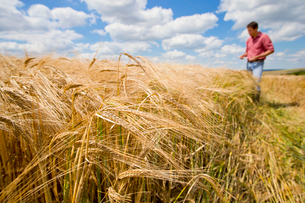 Sunny rural barley crop field in summer with farmer in backgroundの写真素材 [FYI02852853]