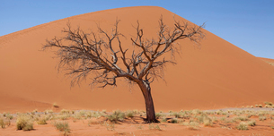 View of bare tree, dry grass and sand dune in sunny desertの写真素材 [FYI02853250]