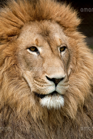 Close up of lion with golden maneの写真素材 [FYI02853346]