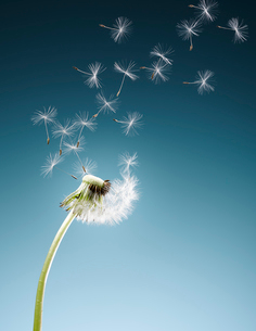 Dandelion seeds blowing on blue backgroundの写真素材 [FYI02853353]