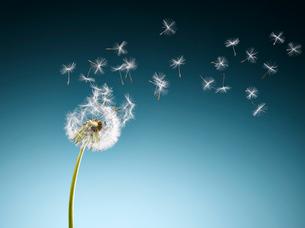 Dandelion seeds blowing on blue backgroundの写真素材 [FYI02853428]