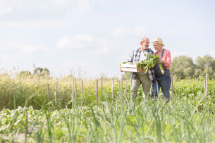 Senior couple harvesting vegetables in sunny gardenの写真素材 [FYI02853569]