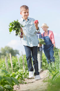 Boy carrying harvested vegetables in sunny gardenの写真素材 [FYI02853606]