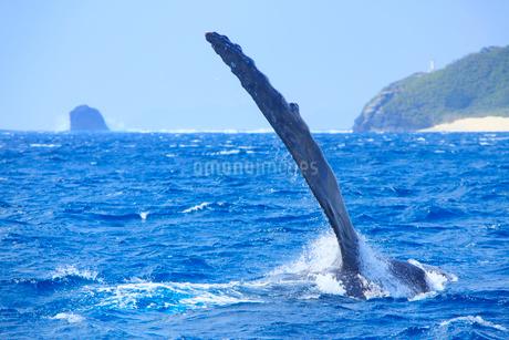 ザトウクジラのペックスラップと嘉比島灯台とウシジの写真素材 [FYI02853844]