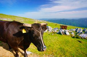 黒毛和牛のアップと鈴が森方向の山並みの写真素材 [FYI02853992]