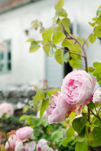 Sweden, Gotland, Bursvik, Burgegard, Close up of bush with flowersの写真素材 [FYI02854167]