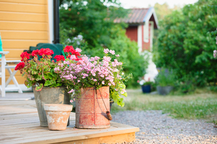 Sweden, Uppland, Loparo, Potted flowers in back yardの写真素材 [FYI02854481]