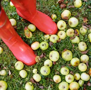 Finland, Ostra Nyland, Lapptrask, Woman standing among appleの写真素材 [FYI02854634]