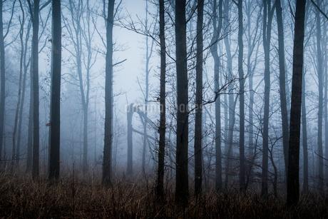 Ethereal winter forest trees shrouded in fog, Naestved, Denmarkの写真素材 [FYI02854915]