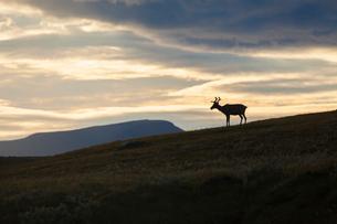 Sweden, Harjedalen, Helagsfjallet, Reindeer at duskの写真素材 [FYI02855473]