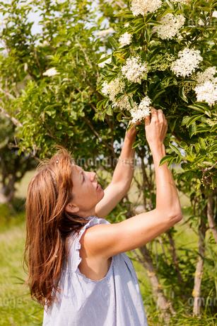 Sweden, Oland, Gronhogen, Mid-adult woman gardeningの写真素材 [FYI02855529]