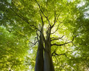 Sweden, Skane, Hackeberga Nature Reserve, Beech tree backlit by sunの写真素材 [FYI02855652]