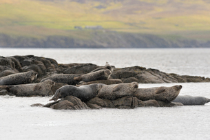 UK, Scotland, Shetland, Lerwick, Harbor seals (Phoca vitulina) lying on rocksの写真素材 [FYI02855708]