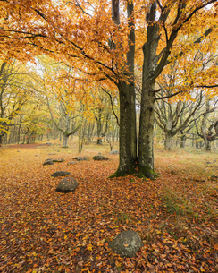 Sweden, Skane, Stenshuvud National Park, Autumn forest with yellow leavesの写真素材 [FYI02855844]
