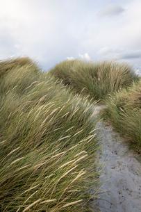 Sweden, Skane, Skanor, Close-up of grass on sandy beachの写真素材 [FYI02855873]