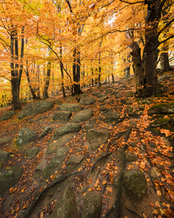 Sweden, Skane, Stenshuvud National Park, Autumn forest with yellow leavesの写真素材 [FYI02855941]