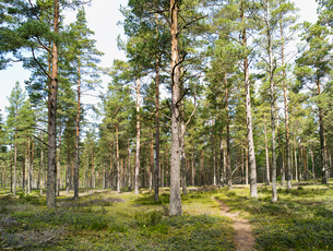 Finland, Uusimaa, Hanko, View of pine tree forestの写真素材 [FYI02856051]