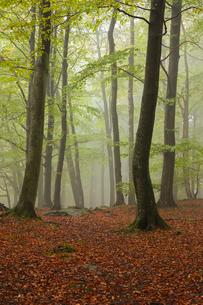 Sweden, Skane, Soderasens National Park, Klova Hallar, Autumn forest in fogの写真素材 [FYI02856059]