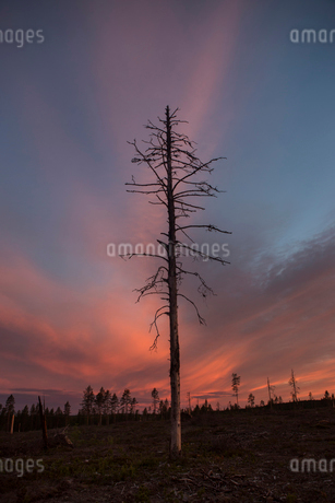 Bare tree at sunset in Vasterbotten, Swedenの写真素材 [FYI02856292]