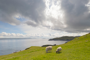 Sheep on hill by beach in Fethaland, Scotlandの写真素材 [FYI02856325]