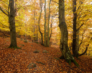 Sweden, Skane, Stenshuvud National Park, Autumn forest with yellow leavesの写真素材 [FYI02856328]