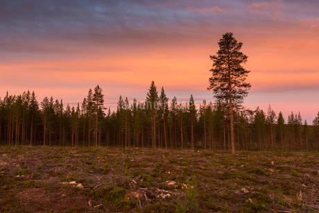 Field by a forest at sunset in Vasterbotten, Swedenの写真素材 [FYI02856330]